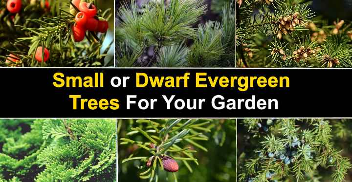 15 Small Or Dwarf Evergreen Trees For Your Garden With Pictures