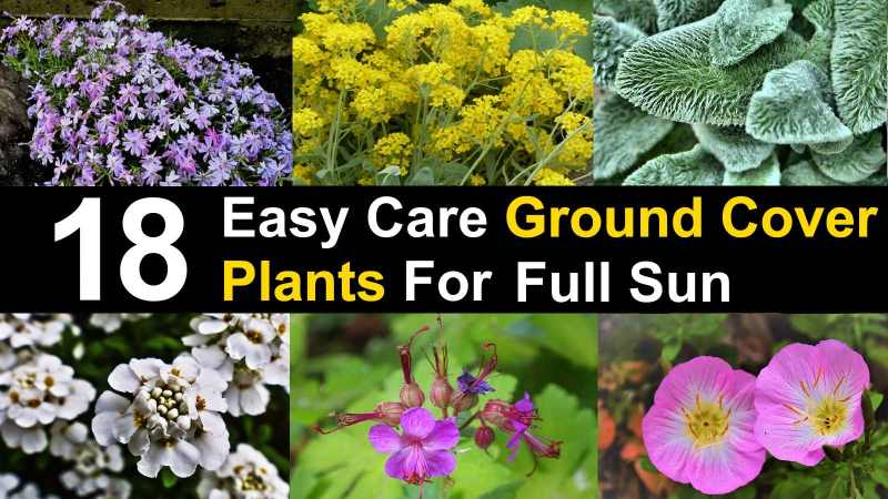 Ground Cover Plants For Full Sun, Fast Growing Perennial Ground Cover For Full Sun