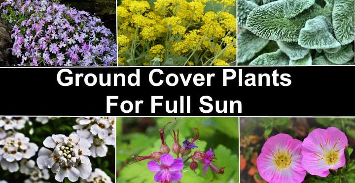17 Great Ground Cover Plants For Full Sun Including Pictures