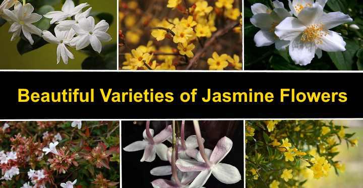 Types Of Jasmine Flowers Amazing Varieties Of Jasmine Plants