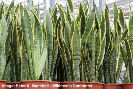 "laurentii 12/"" tall Live Plant Air Toxins Cleaner Sansevieria trifasciata var"