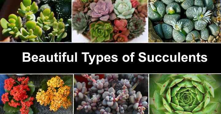 Types Of Succulents Species Varieties Identification Pictures