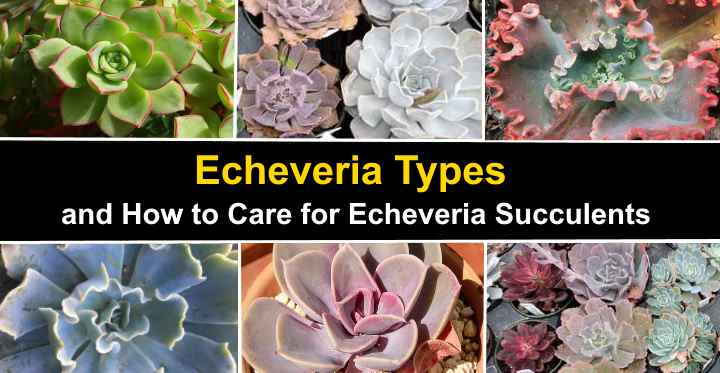 Echeveria Types And How To Care For Echeveria Succulents