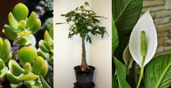 10 Plants That Attract Good Luck Prosperity And Fortune Lucky Plants