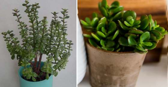 Money Plant Jade Plant Or Jade Tree Care Types And More