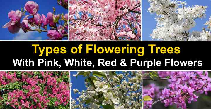 Types Of Flowering Trees With Pictures For Easy Identification