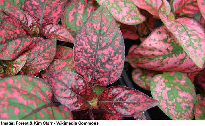 HYPOESTES POLKA DOT PLANT SPLASH White Green Plant shown in image