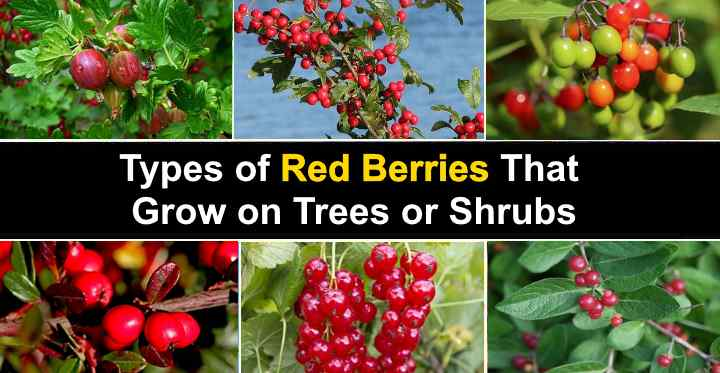 Types Of Red Berries That Grow On Trees Or Shrubs Identification