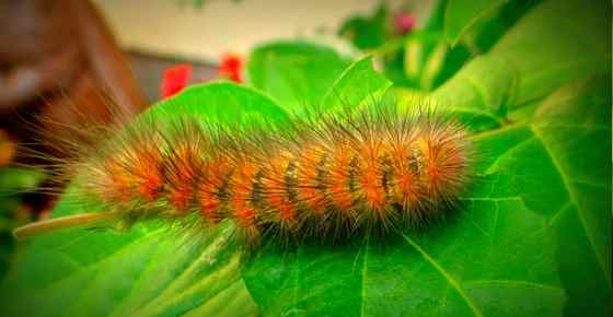 Furry Caterpillar Types With An Identification Chart And Pictures