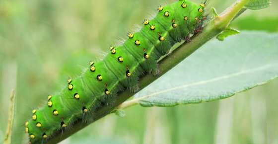 Types of Green Caterpillars with Identification Guide and ...