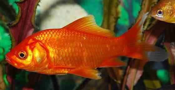 Freshwater Aquarium Fish for Beginners (Easy Fish to Keep