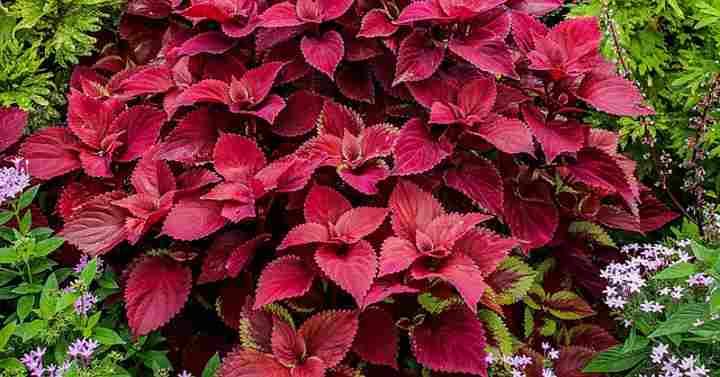 Coleus Care How To Grow Colorful Coleus Plant Extensive Guide