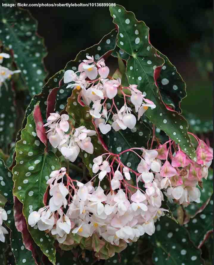 Begonia Maculata Care How To Grow Polka Dot Begonia Wightii