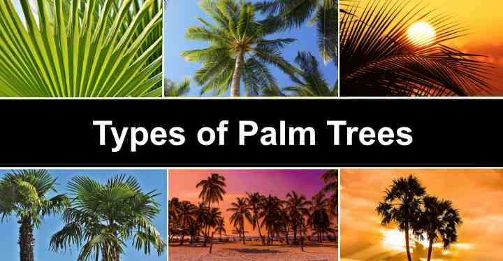 Palm Trees With Identification Guide