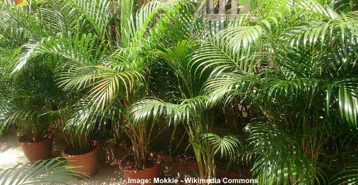 Areca Palm Care Complete Guide To