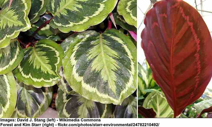 Calathea Medallion Care Plant Profile And Growing Tips,Small Simple Landscaping Ideas For Front Of House