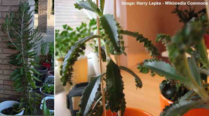 Mother Of Thousands Or Millions Plant Care Growing Kalanchoe