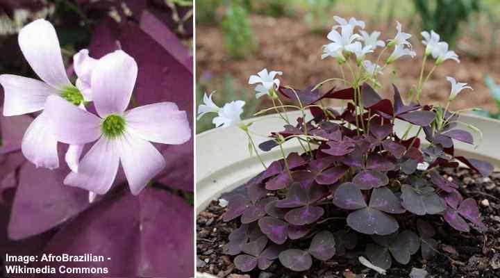 oxalis triangularis flower