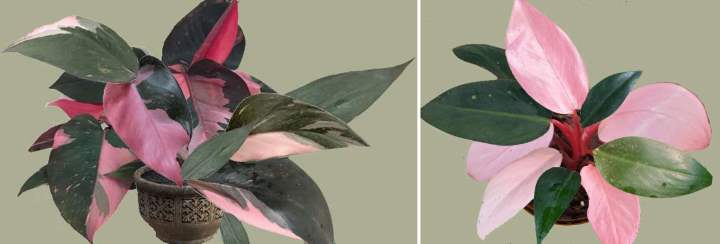 Philodendron Pink Princess (Philodendron Erubescens) Care Guide
