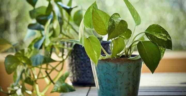 Pothos Plant Care: How to Grow Pothos (Epipremnum Aureum, Devil's Ivy)