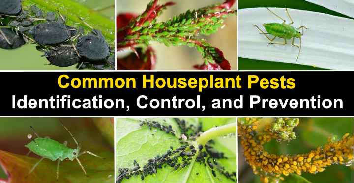 Houseplant Pests Types Identification And Control Pictures