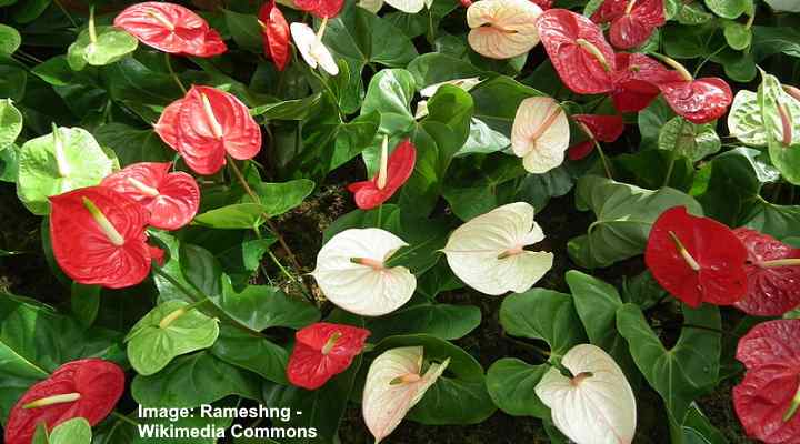 anthurium red and white flowers