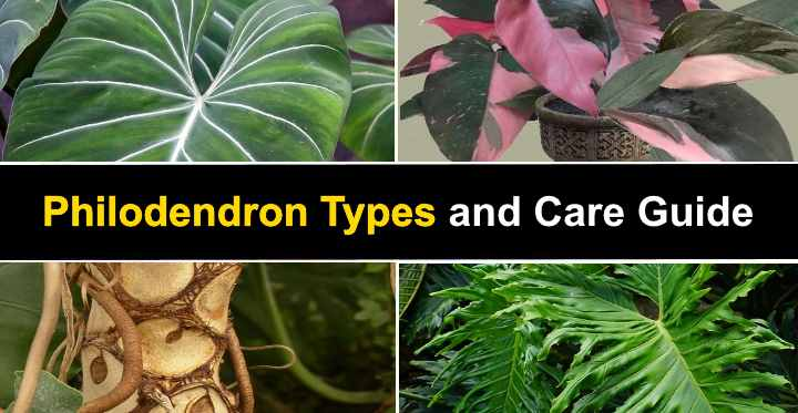 13 Philodendron Types With Pictures And Care Guide Seamless summer pattern of different types of ice cream, desserts, fruits and tropical leaves of monstera, palm, banana. leafy place