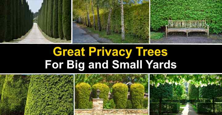 The Best Privacy Trees Great Privacy Fence Trees With Pictures