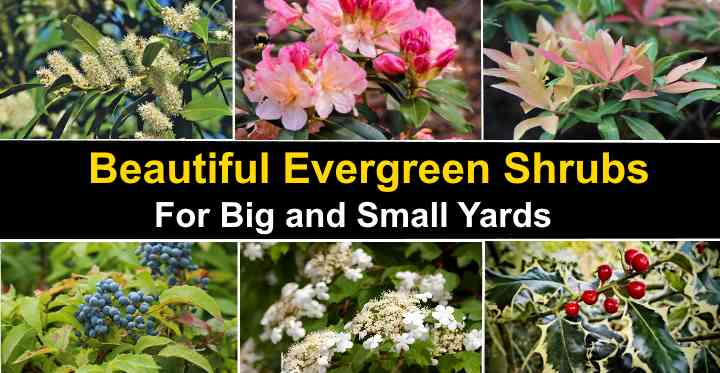 21 Evergreen Shrubs With Pictures For Front Or Backyard,Vegan Burger Recipe Easy