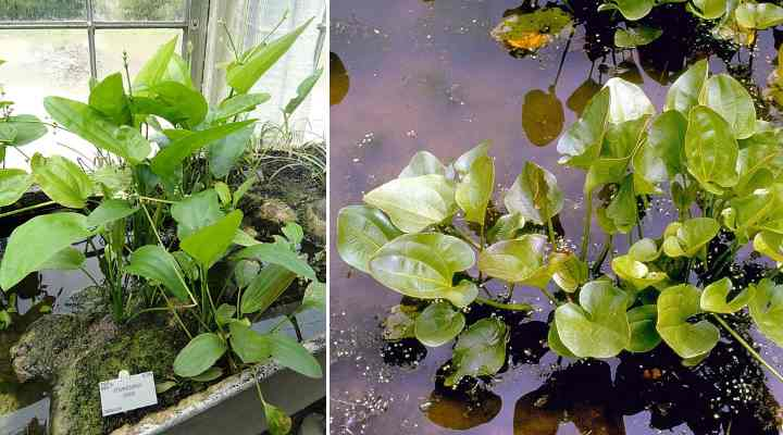 The Best Water Plants Aquatic Plants For Ponds Indoors And Outdoors