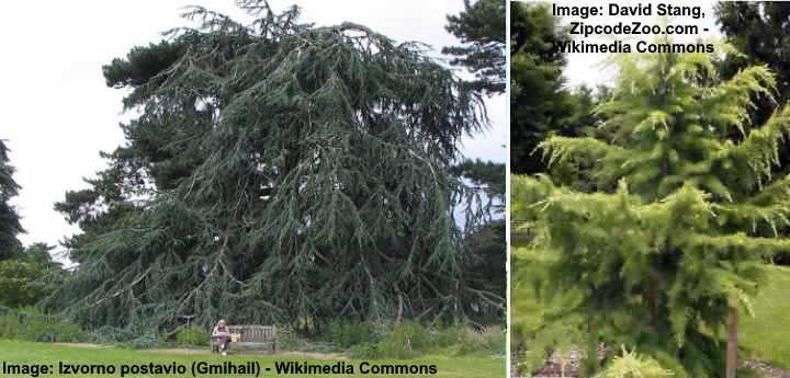 cedrus atlantis (Atlas cedar)- true type of cedar