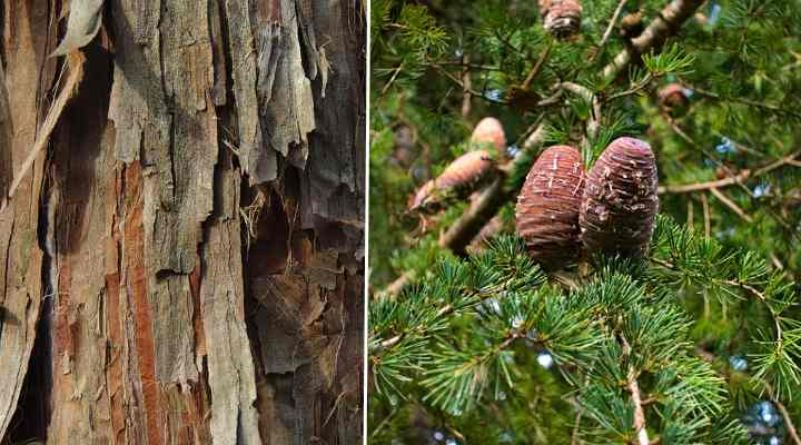 cedar cones, bark, and leaves (cedar tree identification picture)
