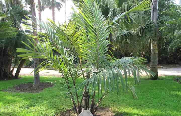 Dwarf Sugar Palm