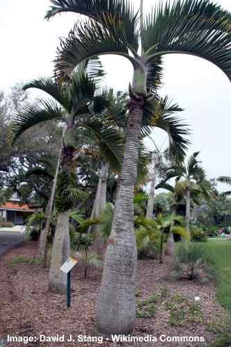 Short Bottle Palm tree