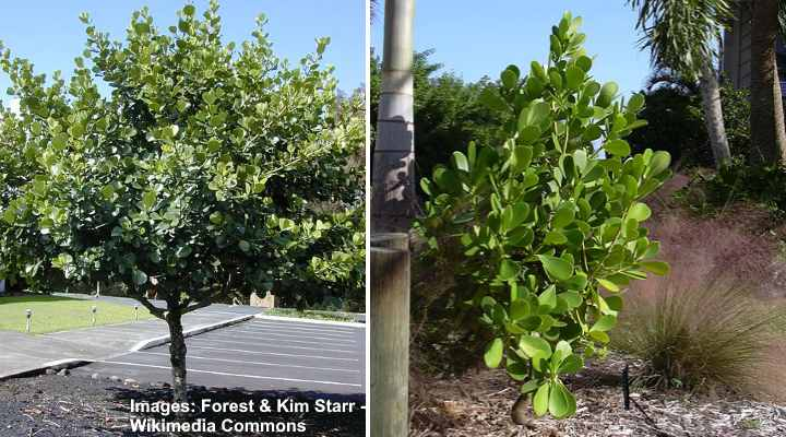 clusia rosea (clusia tree) - in the left picture Clusia tree and in the right picture Clusia rosea 'Nana'