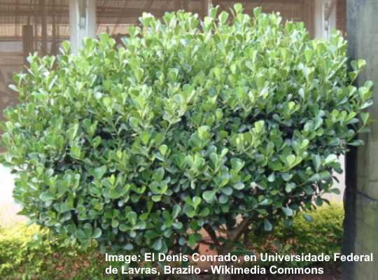 Clusia Hedge (Clusia guttifera)