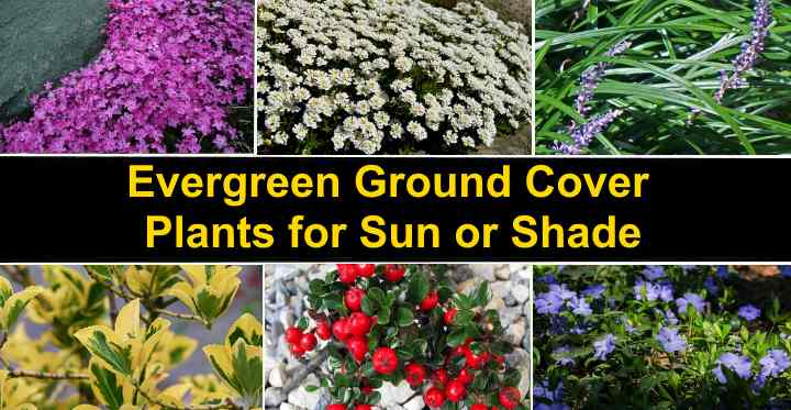Evergreen Ground Cover Plants For Sun, Fast Growing Perennial Ground Cover For Full Sun