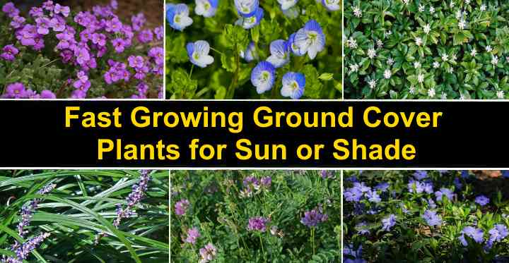 Fast Growing Ground Cover Plants With, Fast Growing Perennial Ground Cover For Full Sun