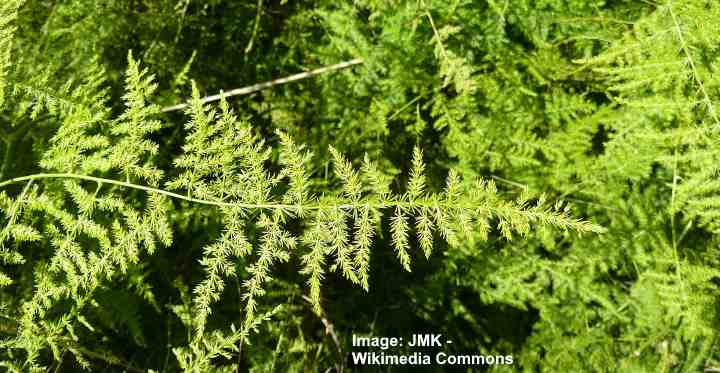 Asparagus Plumosa Fern How To Care For Plumosa Fern Plumosus