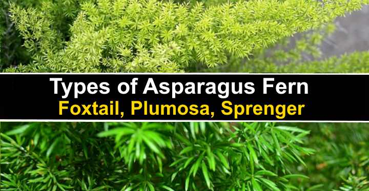 Types Of Asparagus Ferns Foxtail Plumosa Sprenger And More
