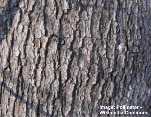 Maple Trees Types Leaves Bark Identification Guide Pictures