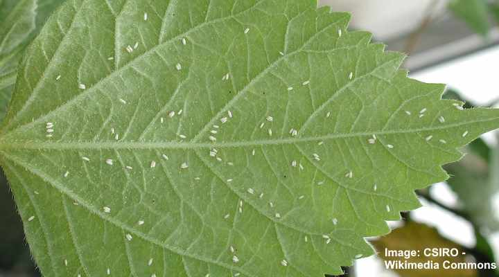Whiteflies On Plants Ways To Kill These Tiny White Flying Bugs