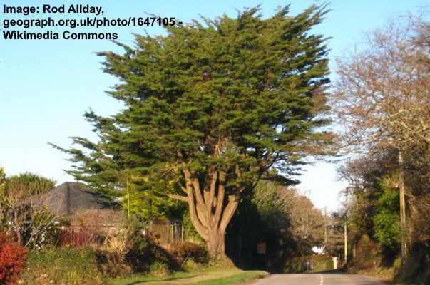 Cupressus Macrocarpa 16 Seeds Monterey Cypress Cypress in the Lemon