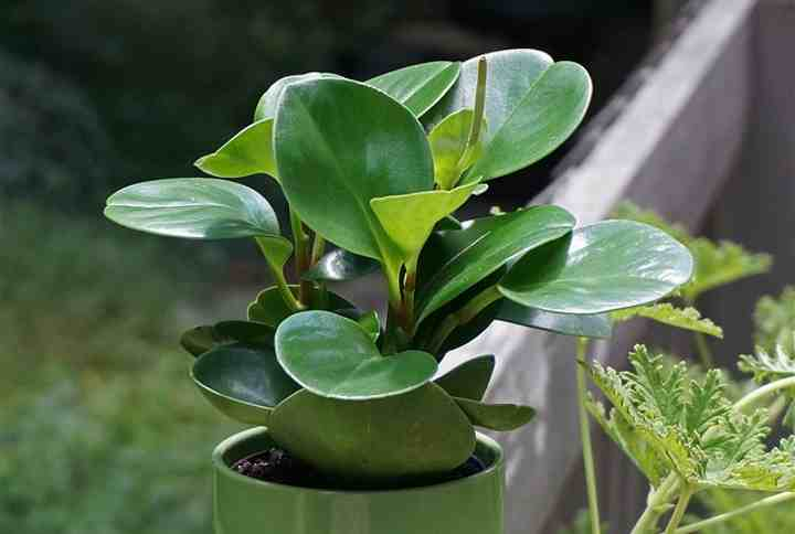 Peperomia Obtusifolia (American Baby Rubber Plant): Care and Growing Guide