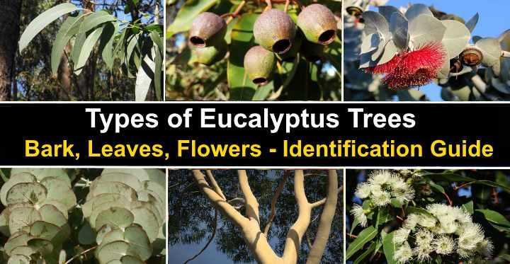 Types Of Eucalyptus Trees Leaves Flowers Bark Pictures