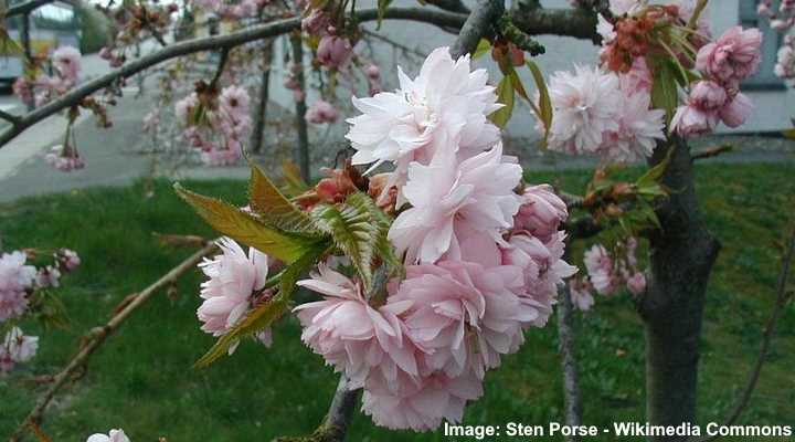 Dwarf Weeping Cherry Trees Including Care Guide With Pictures
