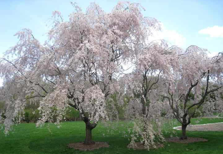 3 Ways To Care For A Weeping Cherry Tree Wikihow