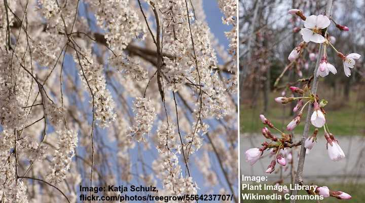 Types Of Cherry Blossom Trees With Japanese Cherry Blossom Pictures