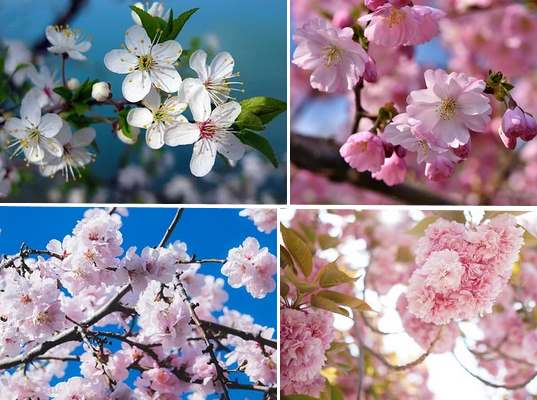Types Of Cherry Trees Leaves Flowers Fruit Pictures