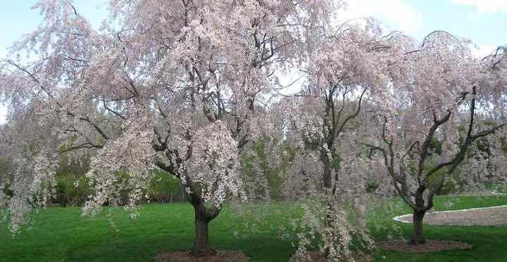 Weeping Cherry Trees Types And Care White And Pink Weeping Trees